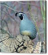 Rooster Quail  Canvas Print
