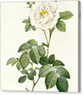 Rosa Alba Flore Pleno Canvas Print