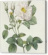 Rosa Alba Foliacea Canvas Print