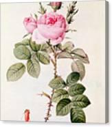 Rosa Bifera Officinalis Canvas Print