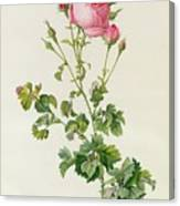 Rosa Centifolia Bipinnata Canvas Print