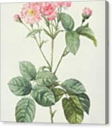 Rosa Centifolia Caryophyllea Canvas Print