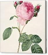 Rosa Centifolia Canvas Print