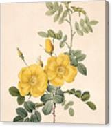 Rosa Eglanteria Canvas Print