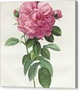 Rosa Gallica Flore Giganteo Canvas Print