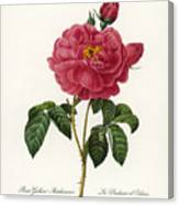 Rosa Gallica Canvas Print