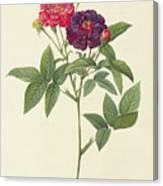 Rosa Gallica Purpurea Velutina Canvas Print