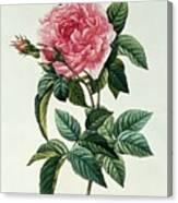Rosa Gallica Regalis Canvas Print