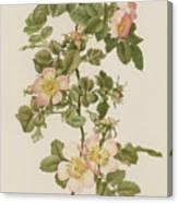 Rosa Hibernica Canvas Print