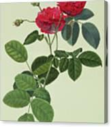 Rosa Holoferica Multiplex Canvas Print