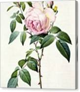 Rosa Indica Fragrans Canvas Print