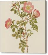 Rosa Involuta Var Wilsoni Canvas Print