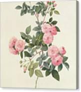 Rosa Multiflora Carnea Canvas Print