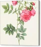 Rosa Pimpinellifolia Flore Variegato  Canvas Print