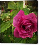 Rosa Rugosa Art Photo Canvas Print