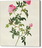 Rosa Sepium Flore Submultiplici Canvas Print