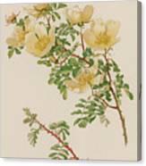 Rosa Spinosissima Var Hispida Canvas Print