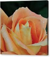 Rose 37 Canvas Print