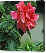 Rose 7898 Canvas Print