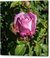 Rose And Bud Canvas Print