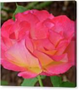 Rose Blushing Canvas Print