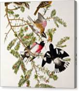 Rose Breasted Grosbeak Canvas Print