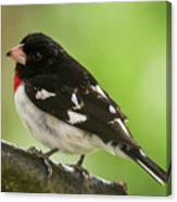 Rose-breasted Grosbeak Male Perched New Jersey  Canvas Print