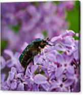 Rose Chafer On Lilac Canvas Print