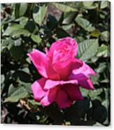 Rose In Flower Bed Canvas Print