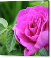 Rose In The Afternoon Canvas Print