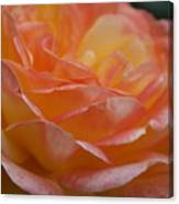Rose In Yellow And Pink I Canvas Print