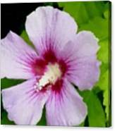 Rose Of Sharon Close Up Canvas Print