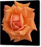 Rose On Black Velvet Canvas Print