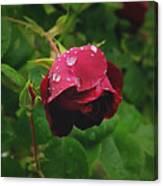 Rose On The Vine Canvas Print