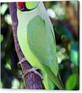 Rose-ringed Parakeet Canvas Print