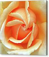 Rose Unfolding Canvas Print