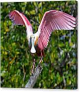 Roseate Spoonbill Wings Spread Canvas Print
