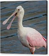 Roseate Spoonbill With Something To Say Canvas Print