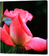 Rosebud And Dewdrops  Canvas Print