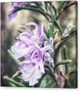 Rosemary Blooming Canvas Print