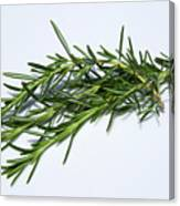 Rosemary Isolated On White Canvas Print