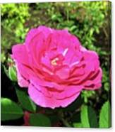 Roses 10 Canvas Print