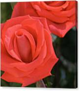 Roses-5850 Canvas Print