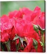 Roses Close Up Nature Spring Scene Canvas Print