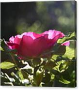 Rose's Illumination Canvas Print