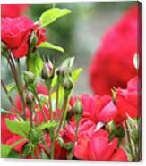 Roses Nature Spring Scene Canvas Print