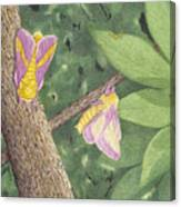Rosy Maple Moth Gathering Canvas Print