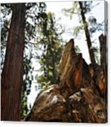 Round Meadow Giant Sequoia Canvas Print