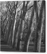 Row Trees Canvas Print