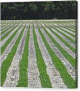 Rows Of Crops Canvas Print